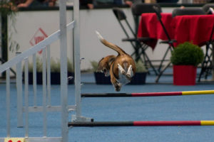 Beagle Lexy im Sprung