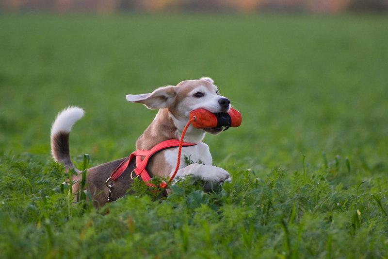 Beagle apportiert