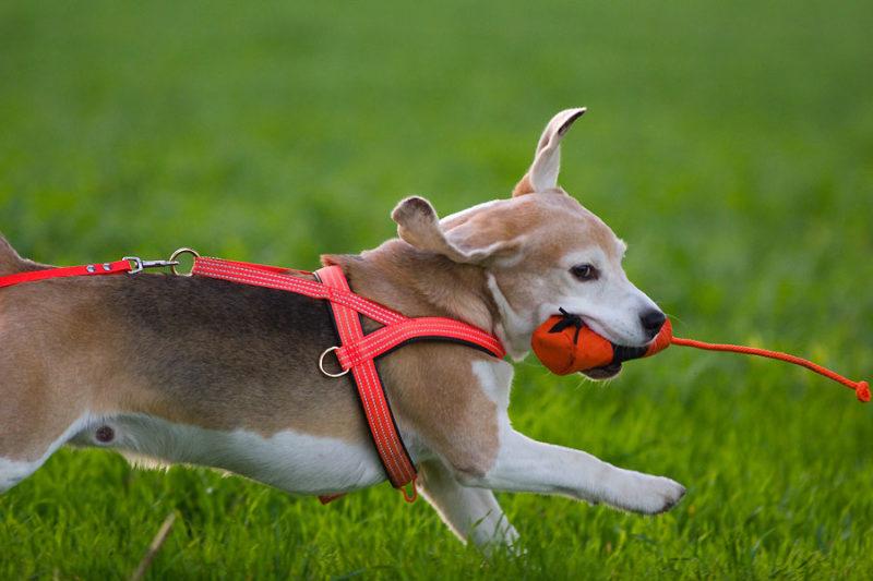 Beagles Lieblingsdummy