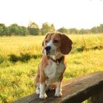 Beagle frei