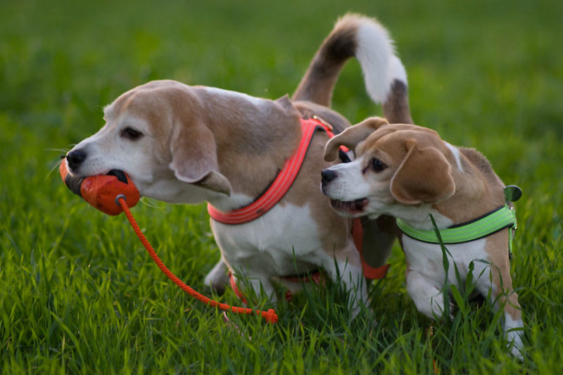 Beagles ringen um den Dummy