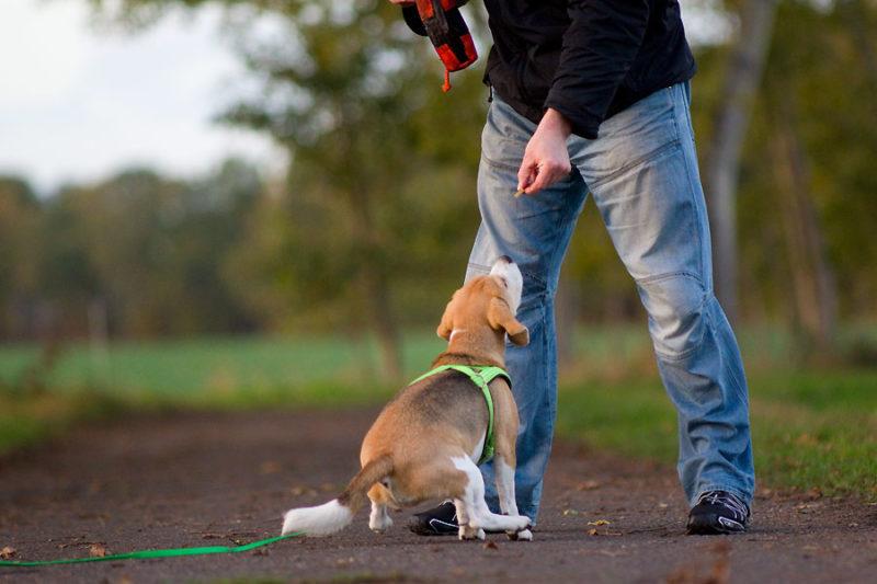 Beagle Sitzen in Rekordzeit