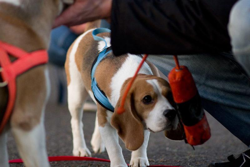 Beagles und Dummy