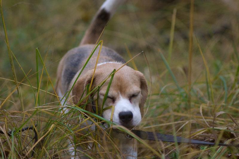 Beagle Indira im hohen Gras