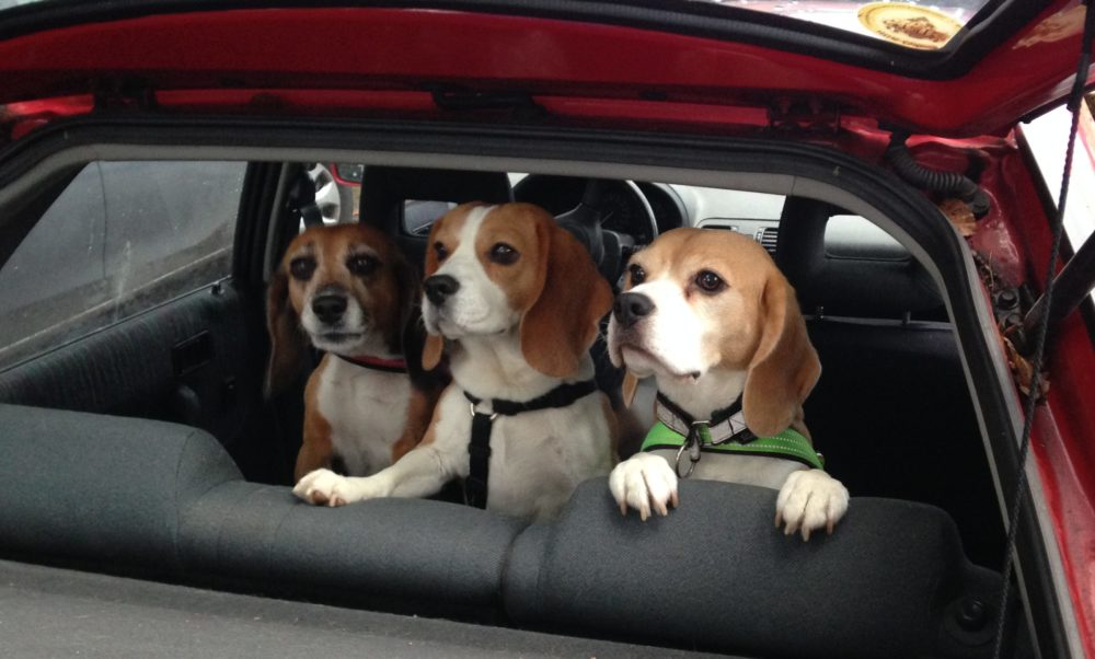 Beagles Lexy, Jara und Indira in Kerstins Auto