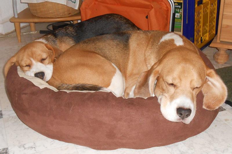 Zwei Beagles sind besser als einer