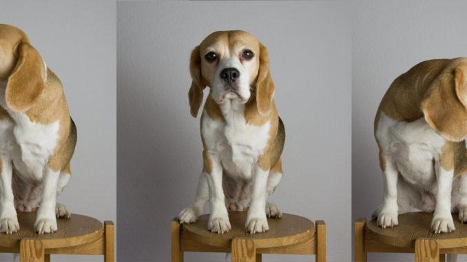 Beagle Haftaufnahme