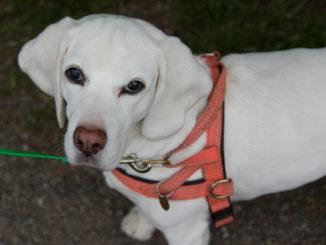 Beagle Kir Mara's Yvi
