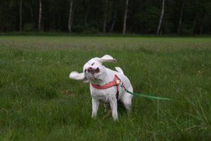 Beagle Yvi schüttelt sich
