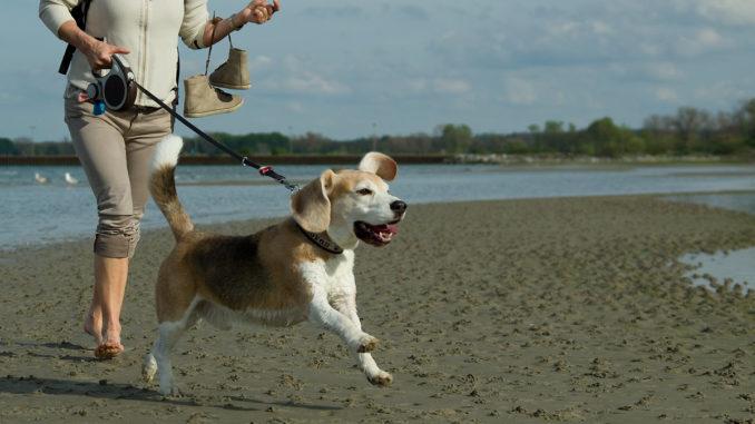 Beagle rennt am Strand