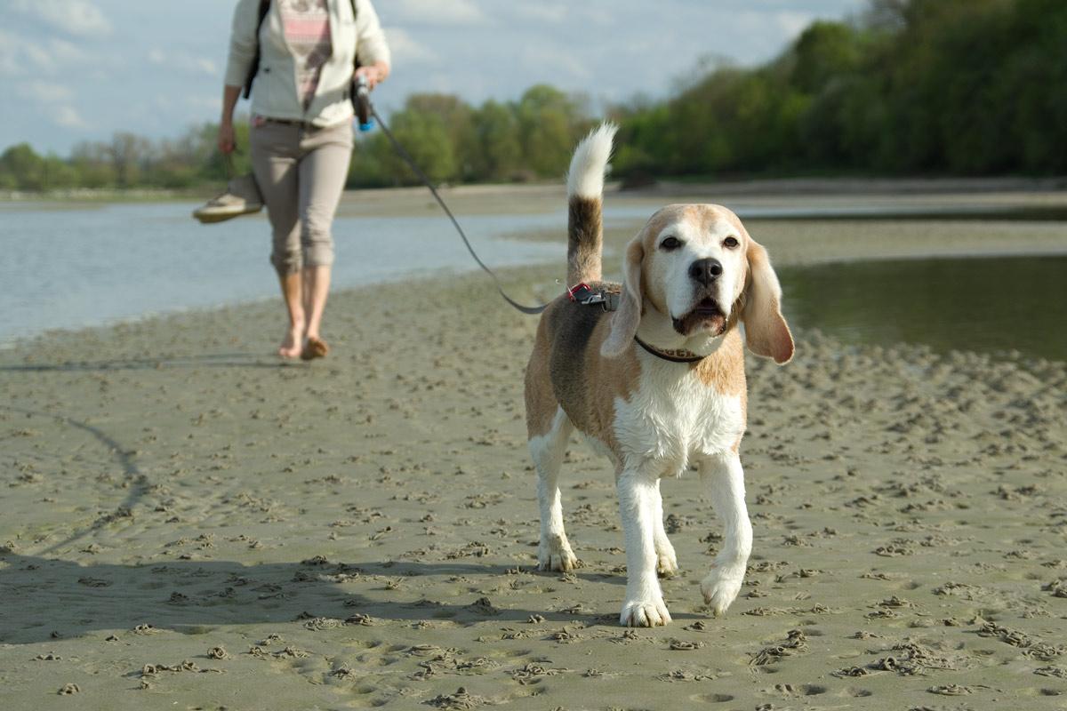 Beagle Beethoven am Meer