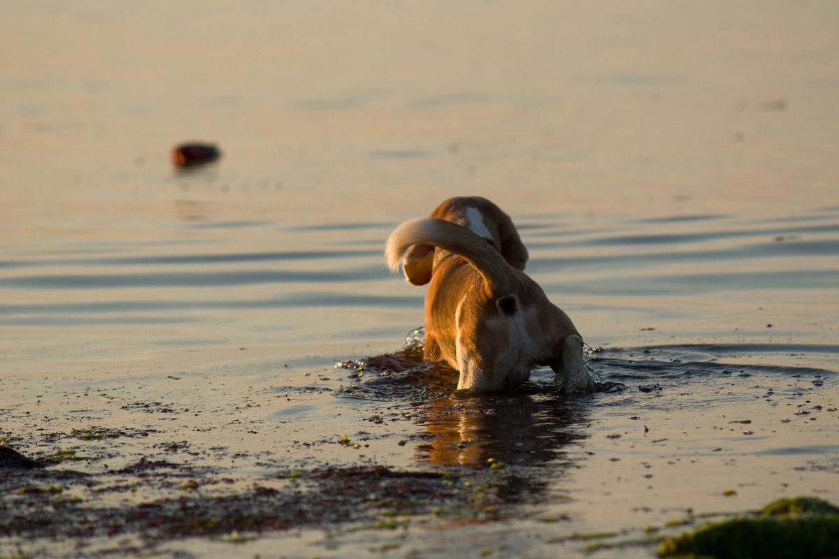 Beagle Beethoven holt Dummy aus der Ostsee