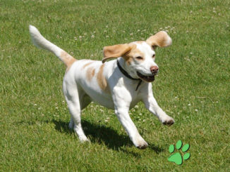 Beagle Yvi im Galopp