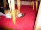 Beagle reisst Vogel