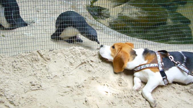 Beagle Anderson erkundet die Welt der Pinguine