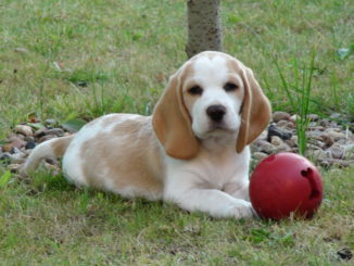 Beaglewelpe Bonja im Garten