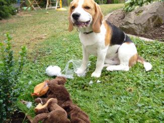 Beagle Anderson