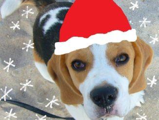 Anderson-als-Weihnachtsbeagle