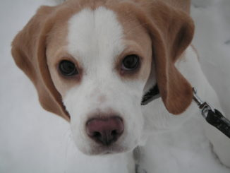Beagle Bonja in Munster