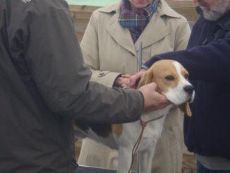 Zuchtzulassungsprüfung Beagle Murphy