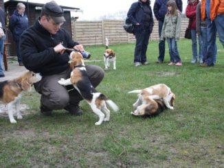 Beagles aus dem A-Wurf in Steinhagen
