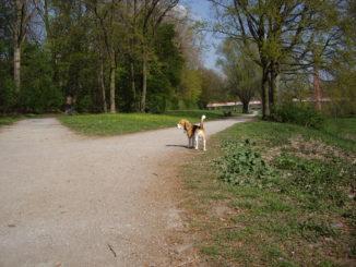 Beagle Beethoven freilaufend an der Ihme