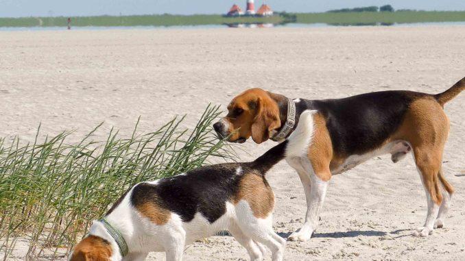 Beagles Nordfriesland-1030020