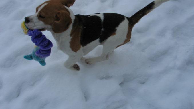 Beagle Anderson im Schnee