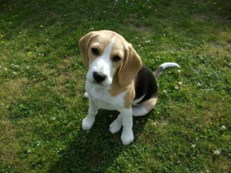 Beagle Frieda vom Deistertal