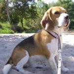 Beagle Beethoven am Strand