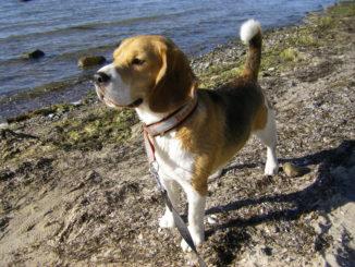 Beagle Beethoven macht Urlaub