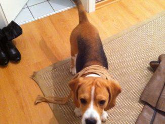 Beagle Bootsmann und die Nylonstrumpfhose