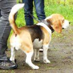 Beagle Bash