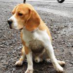 Beagle Bootsmann
