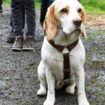 Beagle Dublin