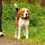 Beagle Felix