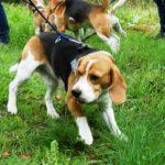 Beagle Gysmo