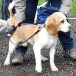 Beagle Hilko