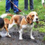 Beagle Lena