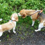 Beagles Beethoven und Hilko