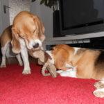 Beagle Beethoven spielt mit seiner Schweste
