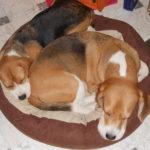 Beagles spielen