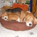 Beagle Kuschelkörbchen
