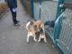 Beagle mit Hundeschuhen