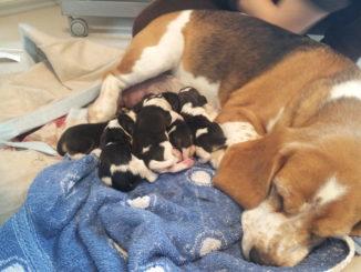 Beaglewelpen 2013 in der Tierarztpraxis