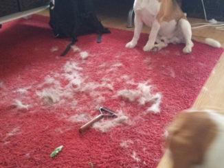 Beagle Fellwechsel