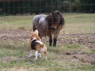 Beagle Odetta verbellt Pony Dalli