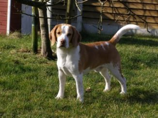 Beagle Kurt vom Deistertal