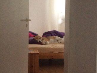 Beagle Beethoven frei von Zecken im Bett