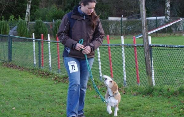 Beagle Indira auf Rally Obidience Meisterschaft